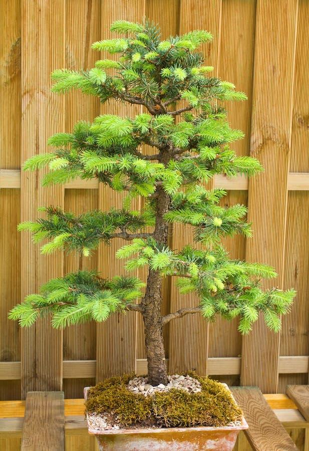Download 矮小的杉树 库存图片. 图片 包括有 背包, 工厂, 生活, 微小, 唯一, 附加, 本质, 矮人, 少许 - 22353237