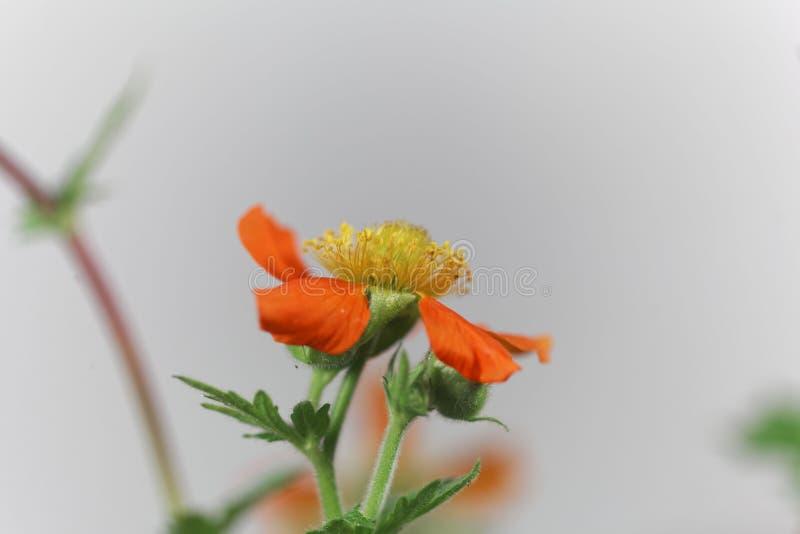 矮小的橙色水杨梅属,水杨梅coccineum 库存图片
