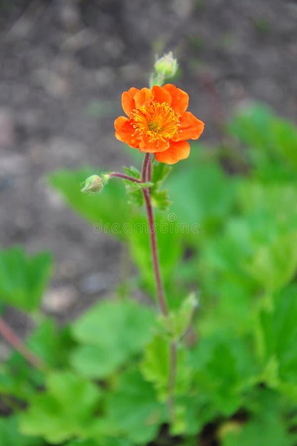 矮小的橙色水杨梅属(水杨梅coccineum) 库存图片