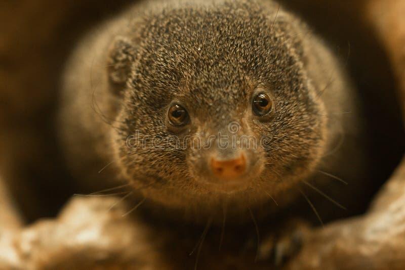 矮小的猫鼬Helogale parvula 免版税库存照片