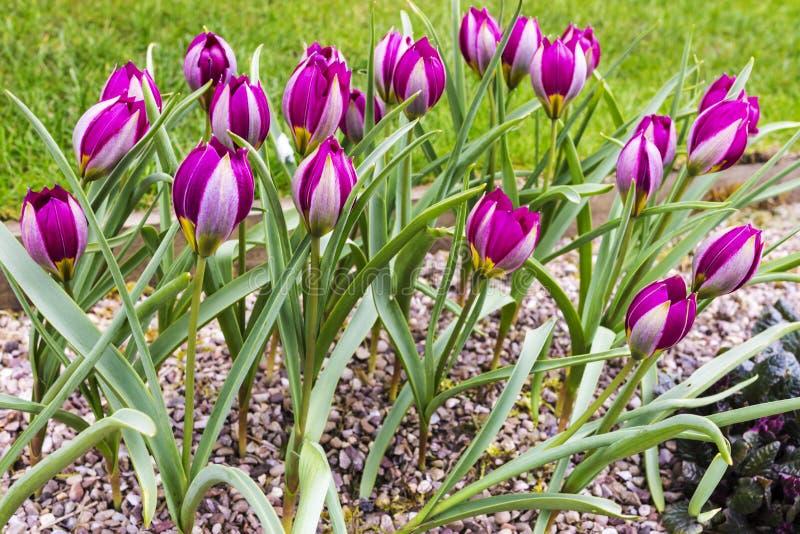矮小的郁金香在假山庭园庭院里 免版税库存图片