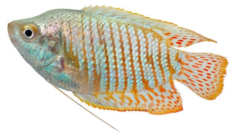矮小的鱼gourami 库存照片