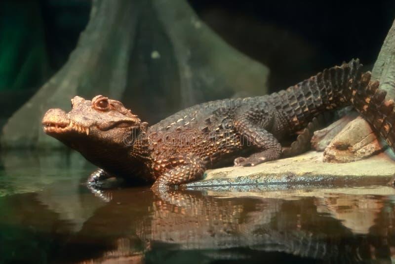 矮小的鳄鱼 库存图片