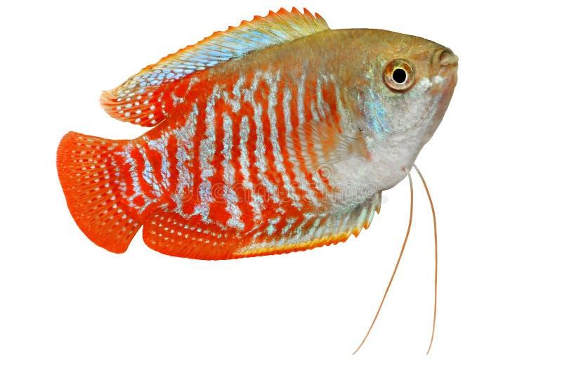 矮小的吻口鱼Trichogaster lalius热带水族馆鱼 库存图片