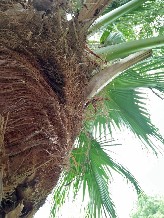 矮棕榈条; 蓝棕矮棕榈条 免版税库存照片
