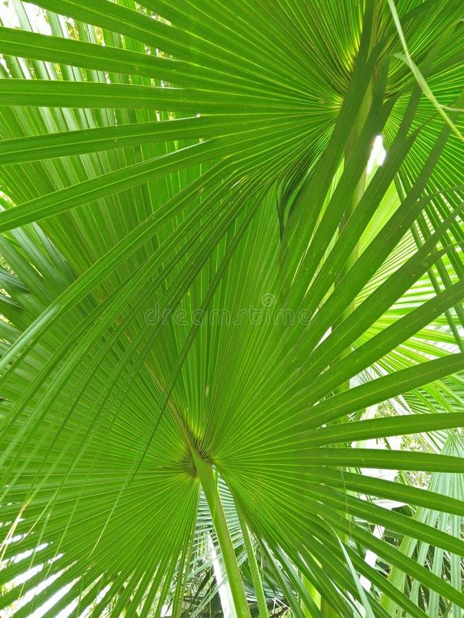 矮棕榈条; 蓝棕矮棕榈条 库存照片