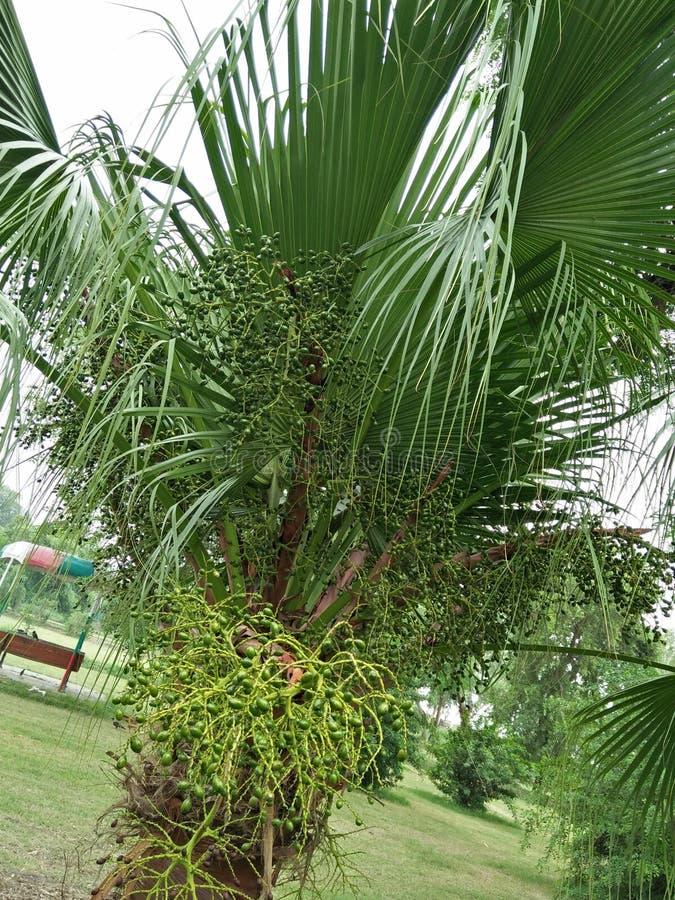 矮棕榈条; 蓝棕矮棕榈条 免版税库存图片