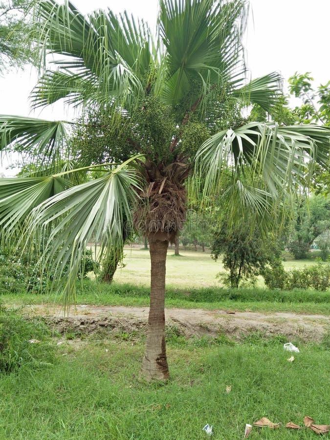 矮棕榈条& x28; 蓝棕palmetto& x29; 图库摄影