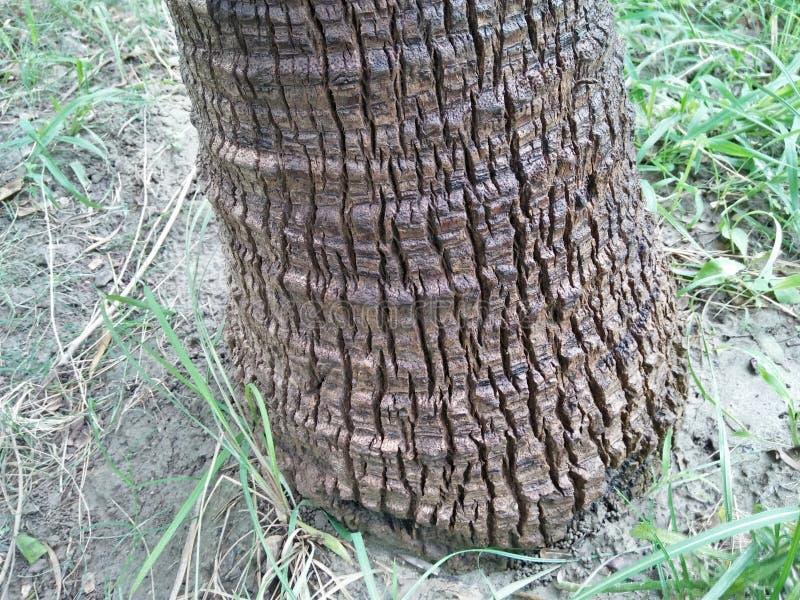 矮棕榈条& x28; 蓝棕palmetto& x29; 库存图片