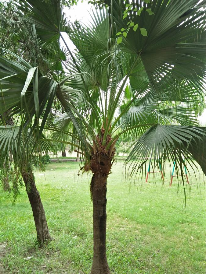 矮棕榈条& x28; 蓝棕palmetto& x29; 免版税库存照片