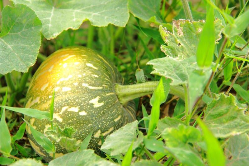 矮生西葫芦植物 免版税库存照片