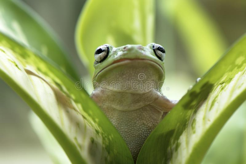 矮胖的池蛙 库存照片