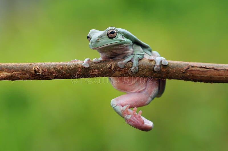 矮胖的雨蛙 免版税图库摄影