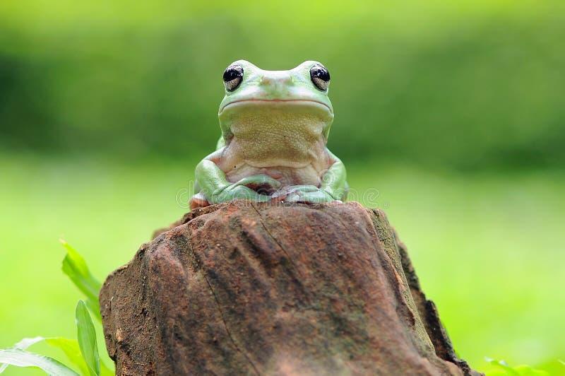 矮胖的雨蛙 库存照片