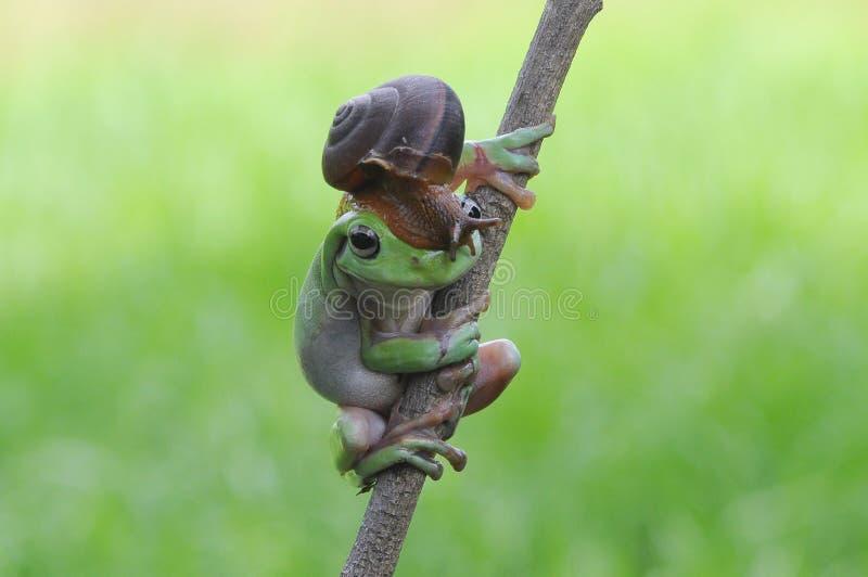 矮胖的雨蛙 图库摄影