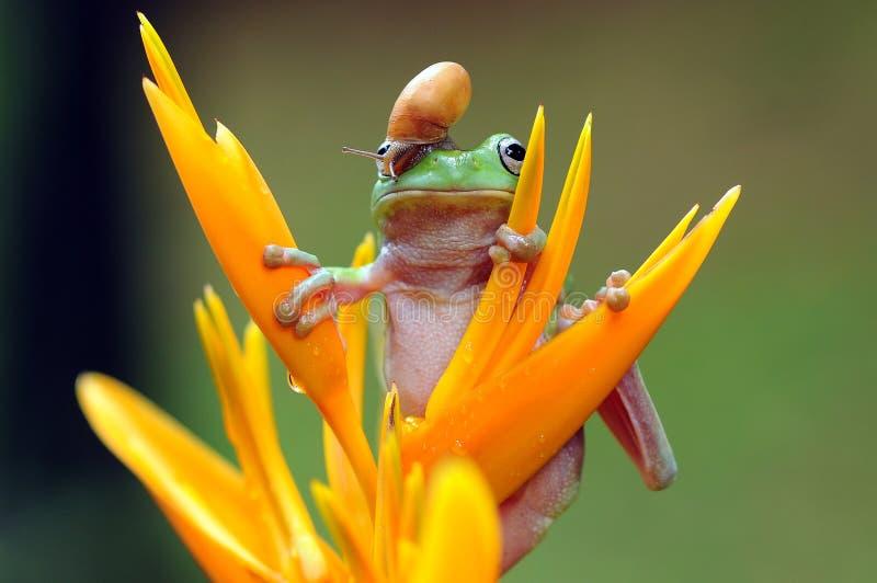 矮胖的雨蛙 库存图片