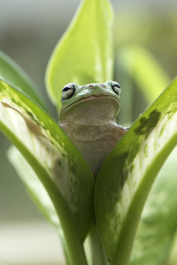 矮胖的青蛙查寻 库存图片