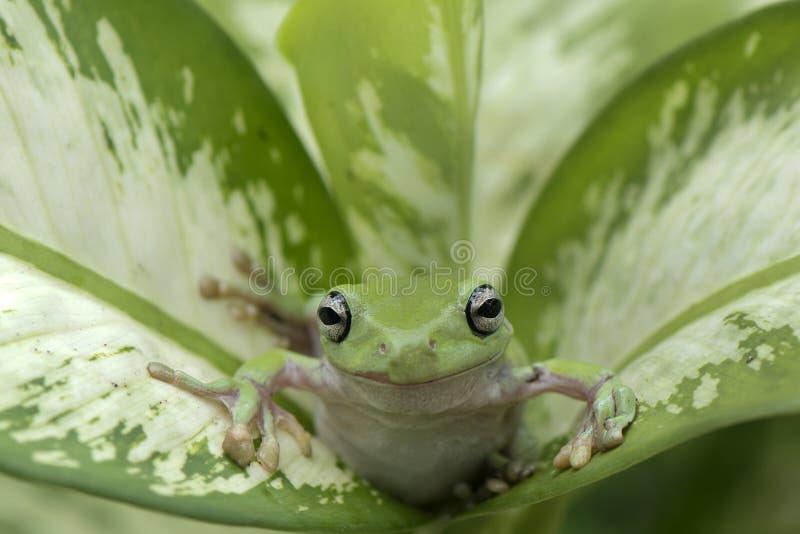 矮胖的青蛙绿色 库存照片