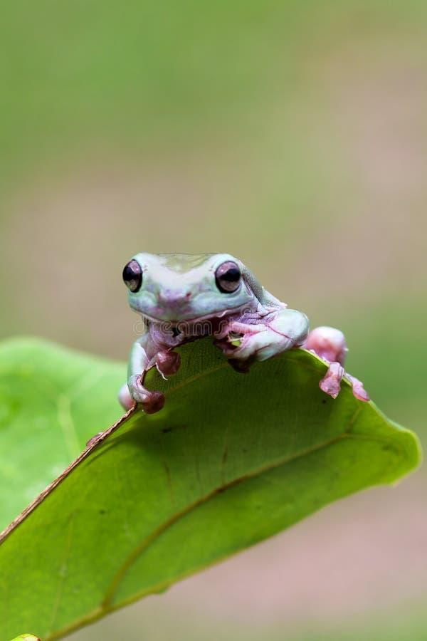 矮胖的青蛙,在叶子的矮胖的青蛙 免版税库存照片