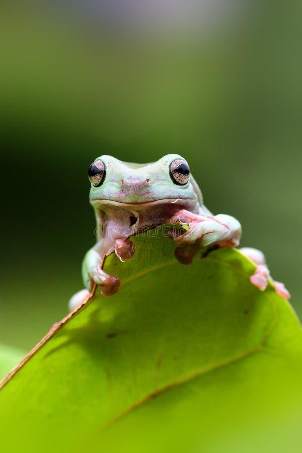 矮胖的青蛙,在叶子的矮胖的青蛙 库存图片