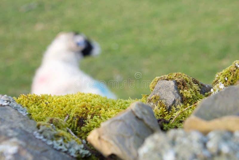 石块墙和绵羊 免版税库存照片
