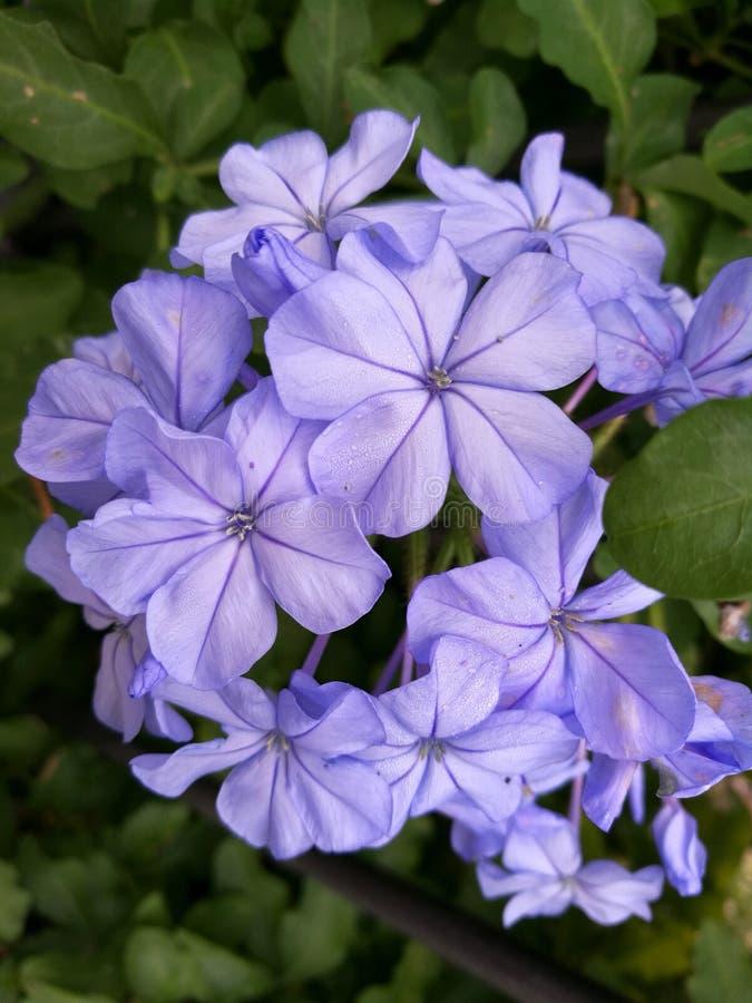 石墨海角-在绿色背景的紫罗兰色淡紫色五颜六色的花 免版税库存图片