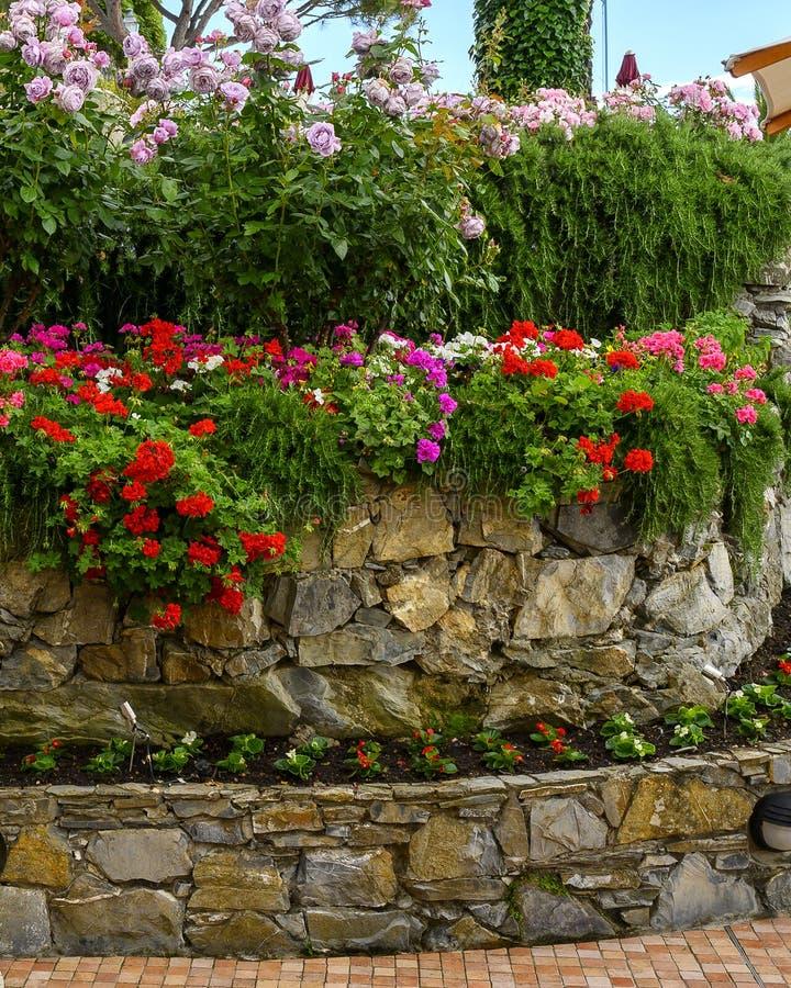 石头脚底与几个颜色桃红色玫瑰和大竺葵在Camoglia,意大利 库存图片