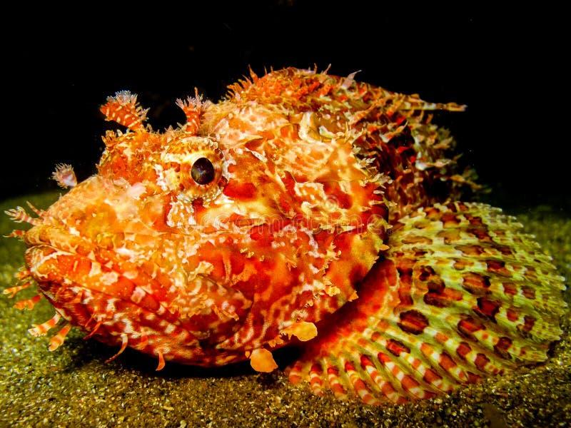 石头鱼在晚上 免版税库存图片