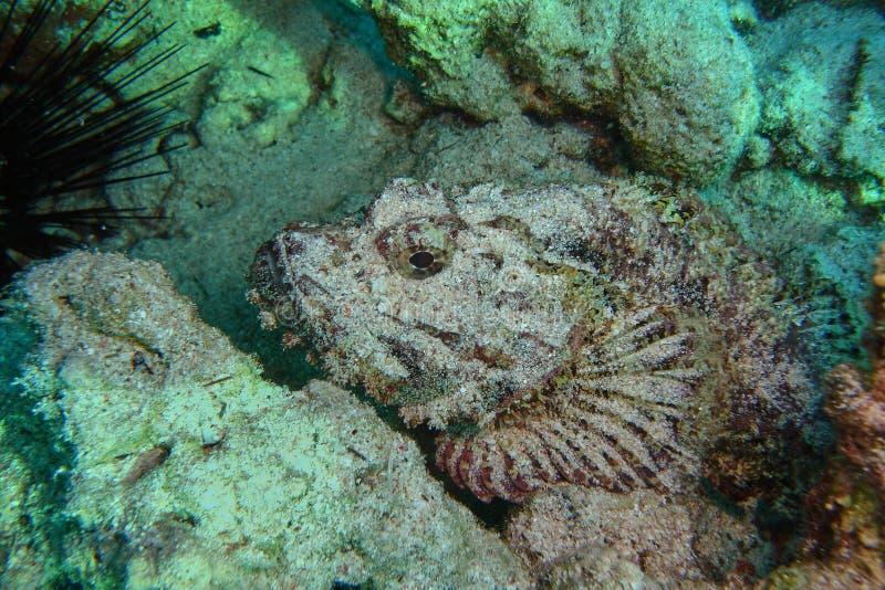 石头鱼Synanceia verrucosa 库存照片