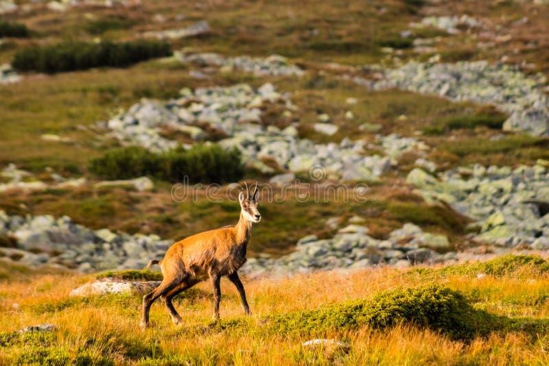 石山羊别名Rupicapra Rupicapra Tatrica在高Tatras,斯洛伐克 在对非常著名高峰Krivan的途中与高度2494 m 免版税图库摄影