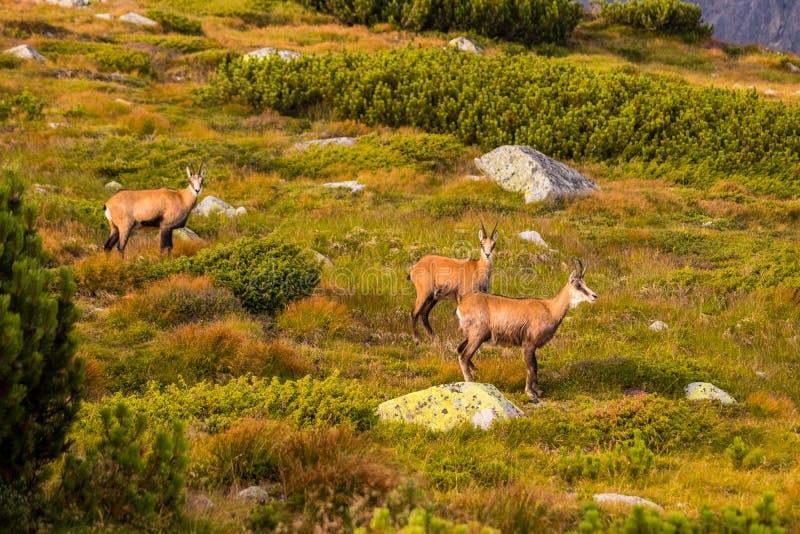 石山羊别名Rupicapra Rupicapra Tatrica在高Tatras,斯洛伐克 免版税库存照片