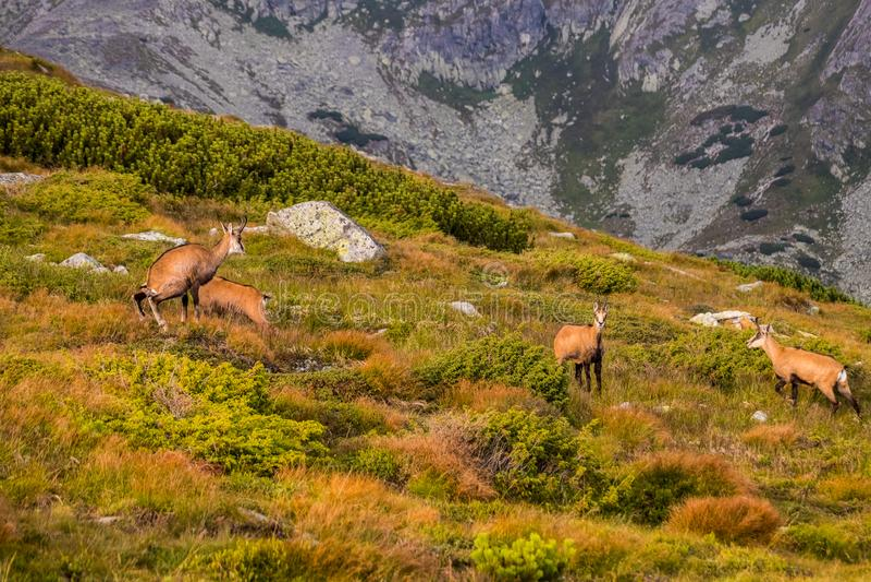 石山羊别名Rupicapra Rupicapra Tatrica在高Tatras,斯洛伐克 库存图片