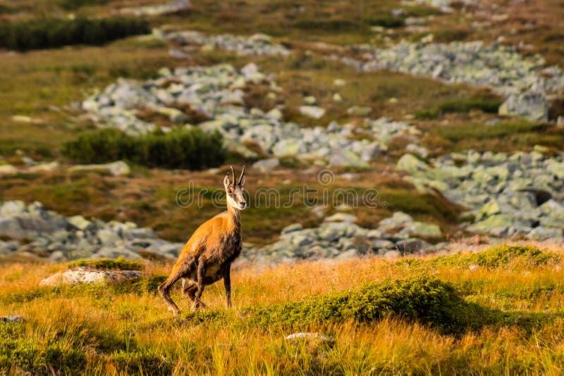 石山羊别名Rupicapra Rupicapra Tatrica在高Tatras,斯洛伐克 库存照片