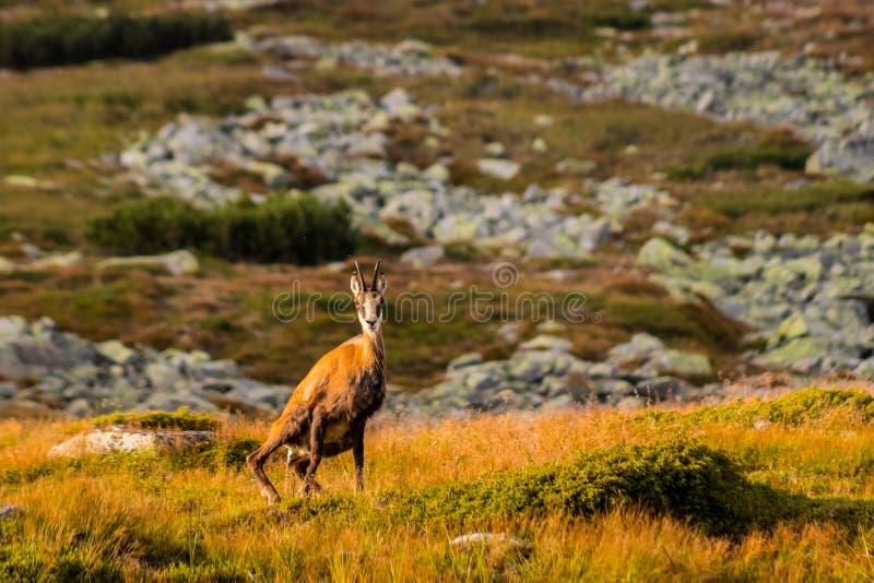 石山羊别名Rupicapra Rupicapra Tatrica在高Tatras,斯洛伐克 图库摄影
