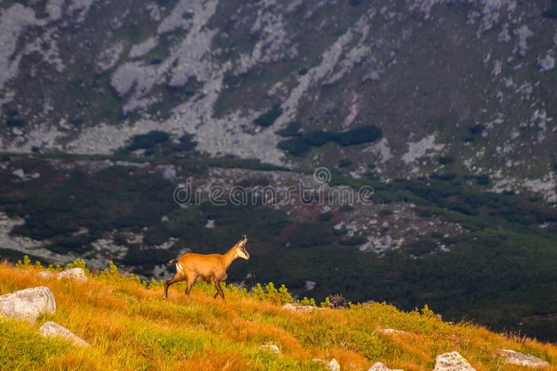 石山羊别名Rupicapra Rupicapra Tatrica在高Tatras,斯洛伐克 免版税库存图片