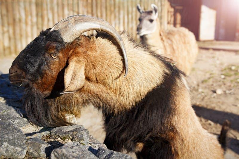石山羊和骆马在动物园里 动物在城市动物园里 免版税库存照片