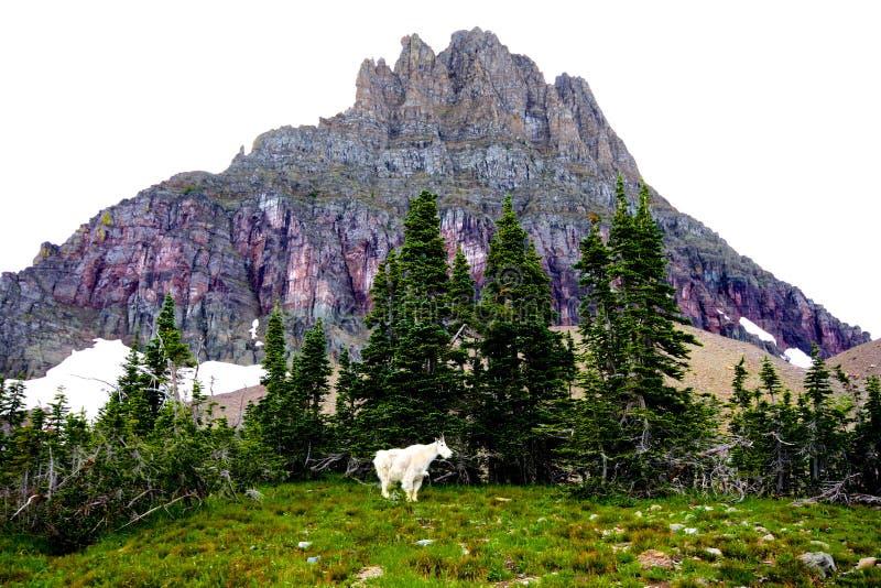 石山羊在冰川公园 免版税库存图片