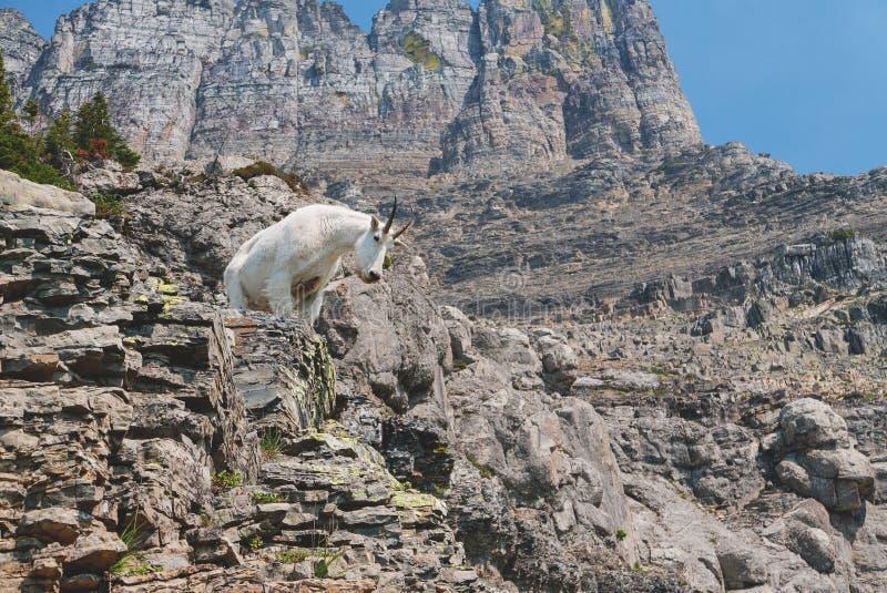 石山羊在冰川国家公园 免版税库存图片