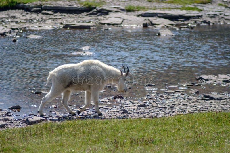 石山羊在冰川国家公园 免版税库存照片