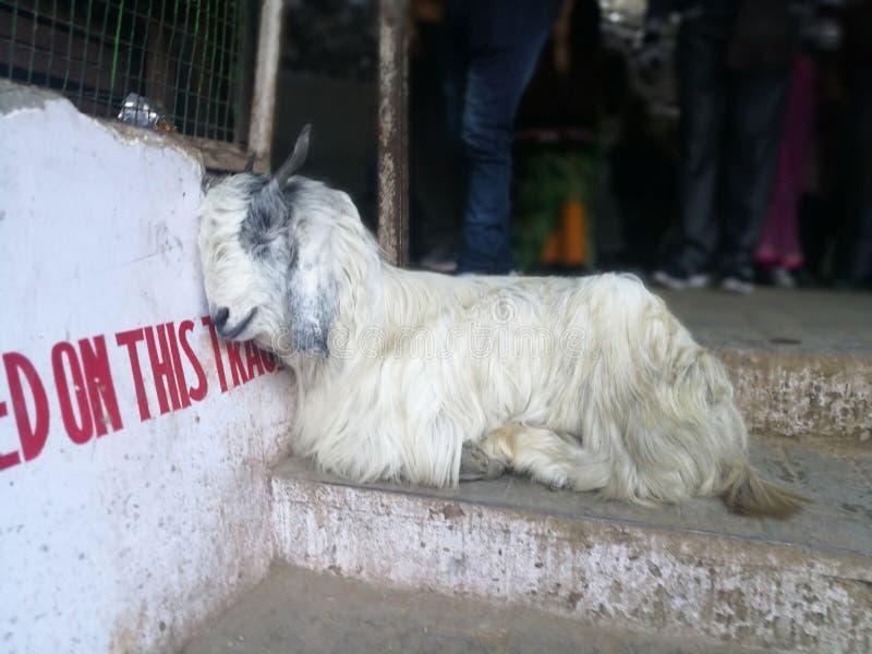 石山羊在寺庙前提睡觉  免版税图库摄影