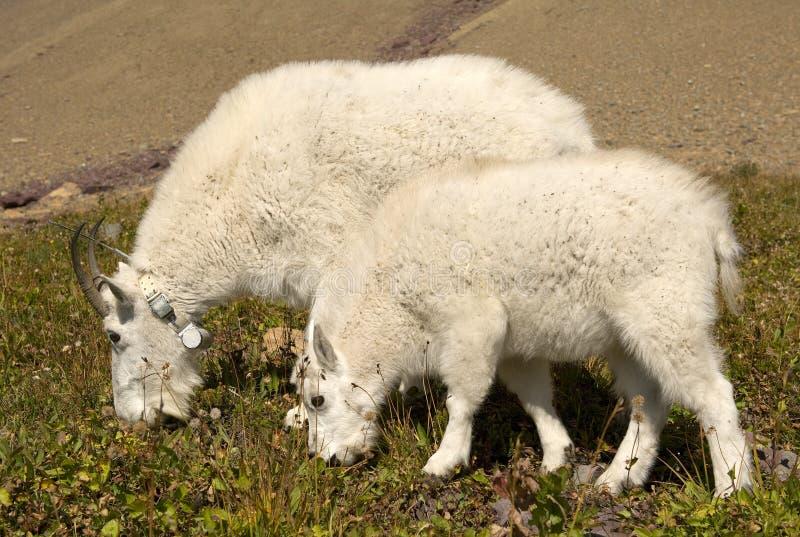 石山羊母亲和孩子,冰川国家公园 免版税库存图片