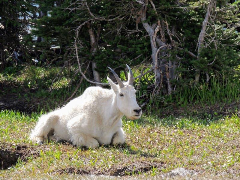 石山羊oreamnos美洲在去对这太阳路,沿供徒步旅行的小道在摇石通行证冰川国家公园蒙大拿美国 库存照片