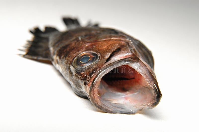 石斑鱼海法 免版税库存图片