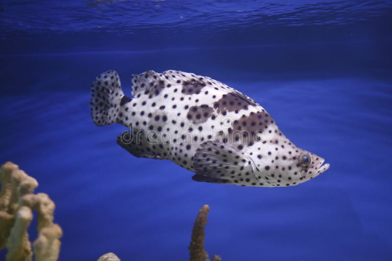 石斑鱼驼背 库存照片
