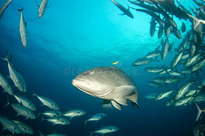 石斑鱼, cortez海。 免版税库存图片