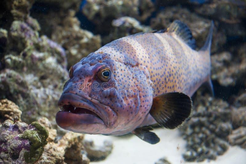 石斑鱼 图库摄影