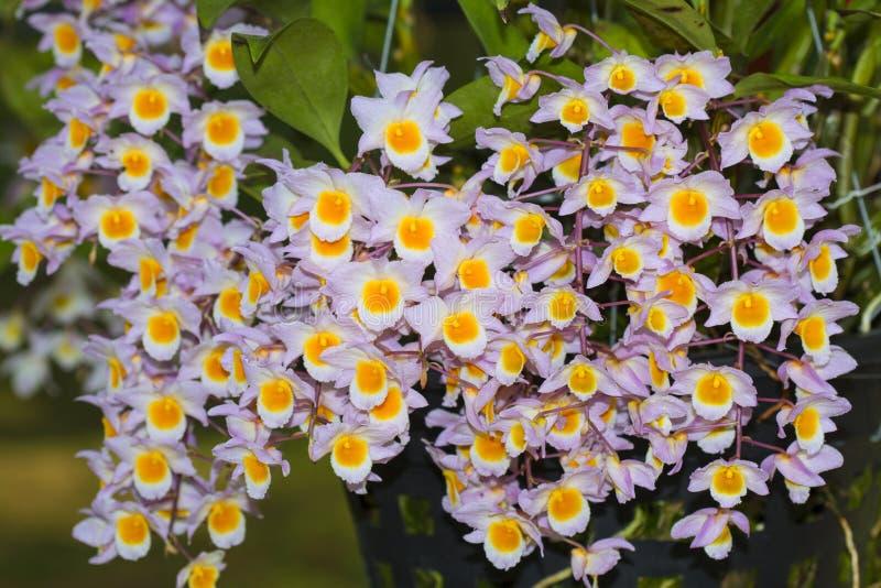 石斛兰属兰花种类 库存照片