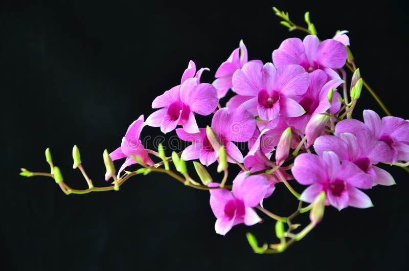 石斛兰属在光的兰花花美丽的花束  库存图片