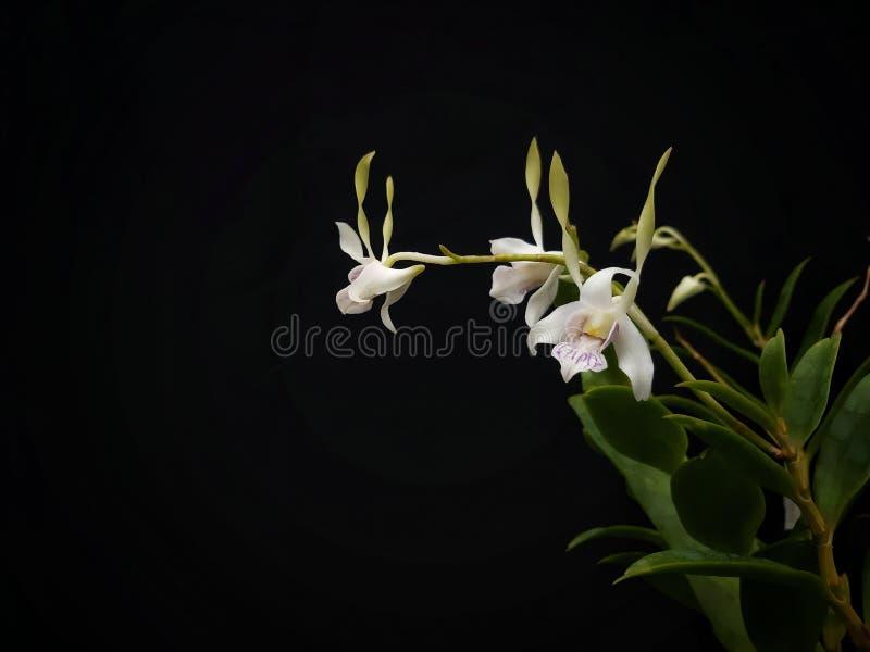 石斛兰属antennatum,一般叫作绿色羚羊兰花 它在哪里增长在新几内亚和在热带北部昆士兰 免版税库存照片