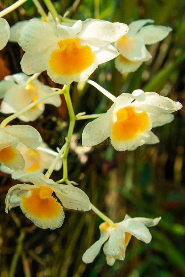 石斛兰属farmeri在自然光的paxton兰花 库存图片